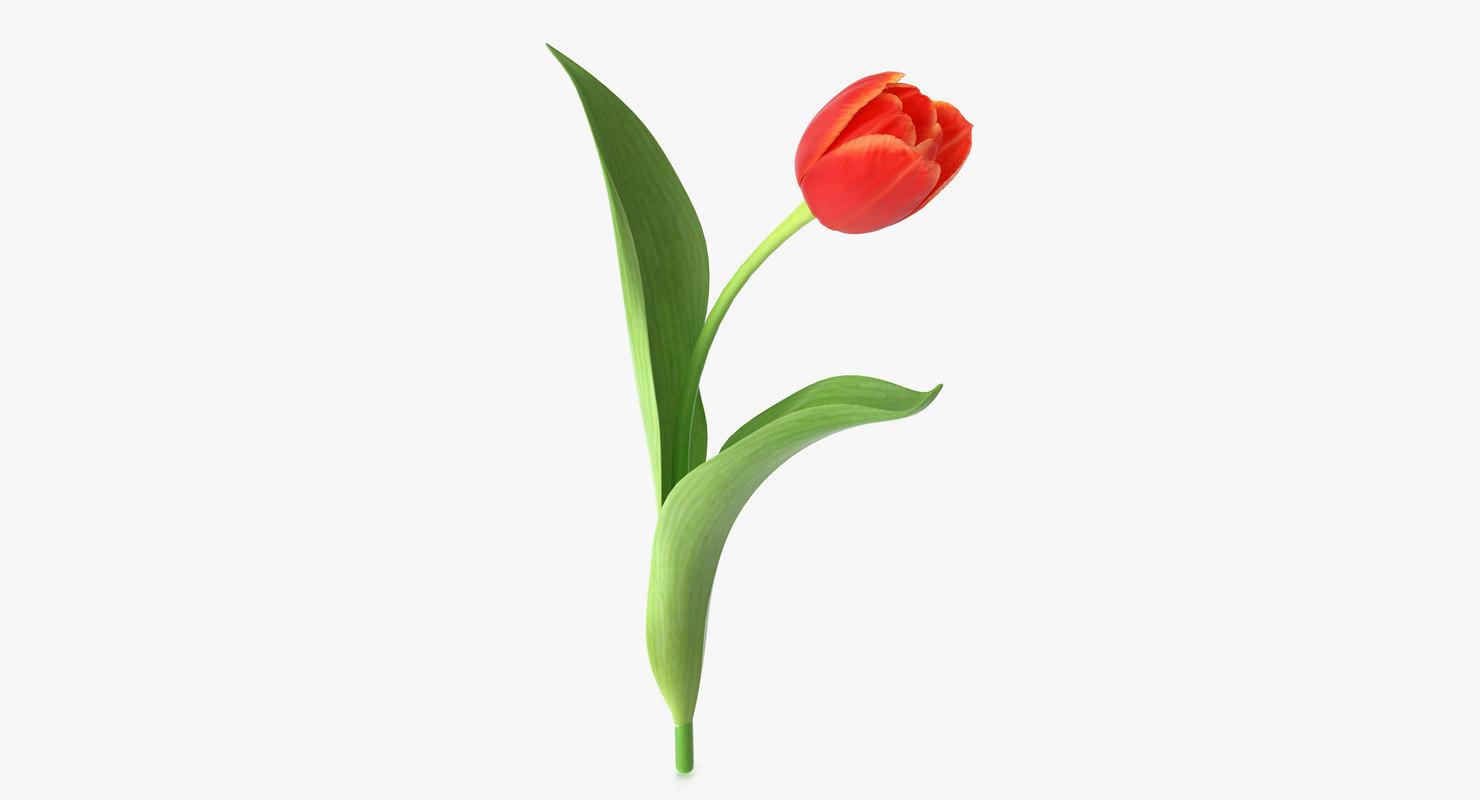 3d tulip leaf model