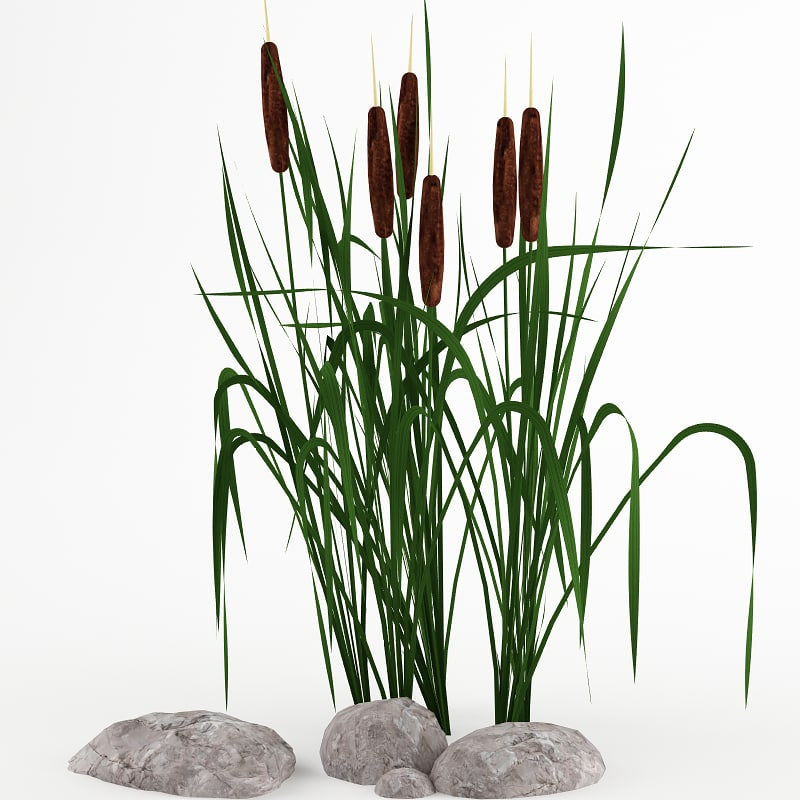 plant cattail 3d model