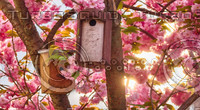 Bird house and cherry blossoms