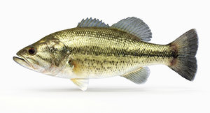 largemouth bass 3d model