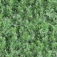 Green Artemesia texture (seamless)
