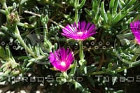Noon Flower 1