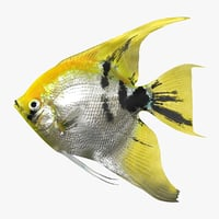 angelfish scanline 3d model
