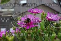 Bumblebee Noon Flower 15