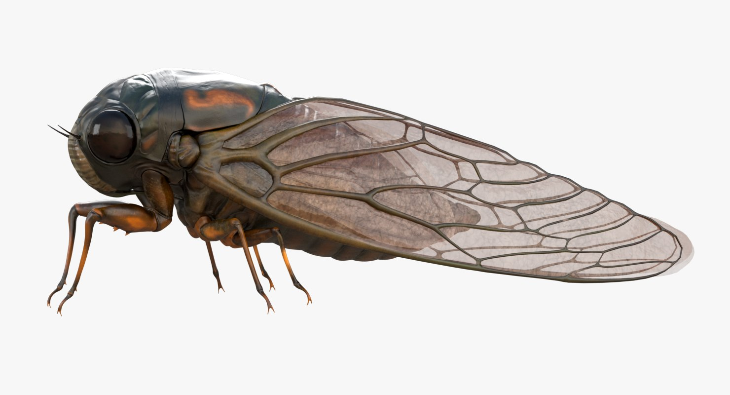realistic cicada 3d model