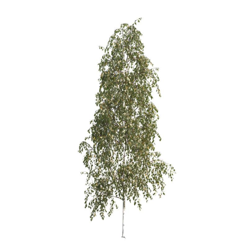 3d model silver birch tree