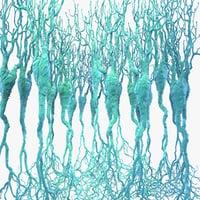 pyramidal neurons 3d model
