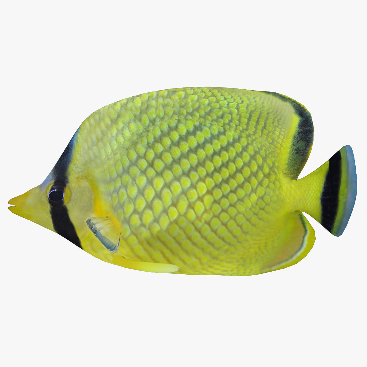 3d latticed butterfly fish model