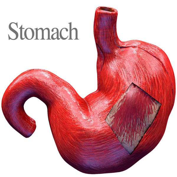 human anatomy stomach 3D model