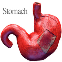 human anatomy stomach 3D model