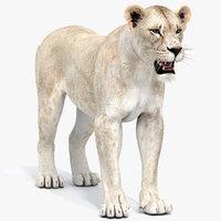 Lioness (2) White