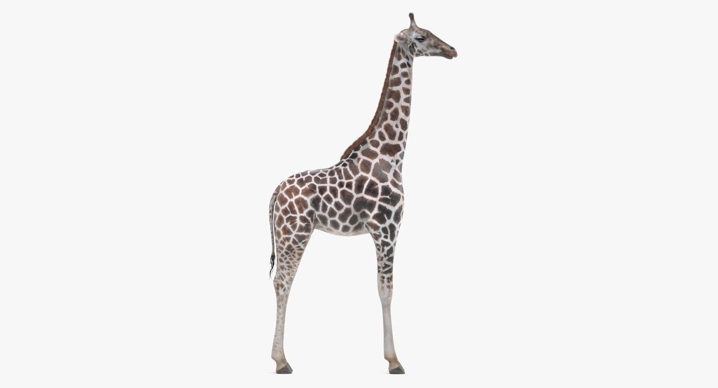 rothschild s giraffe 3D model