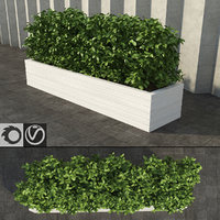 Shrub in a Rectangular Planter