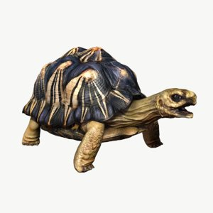 radiated tortoise obj