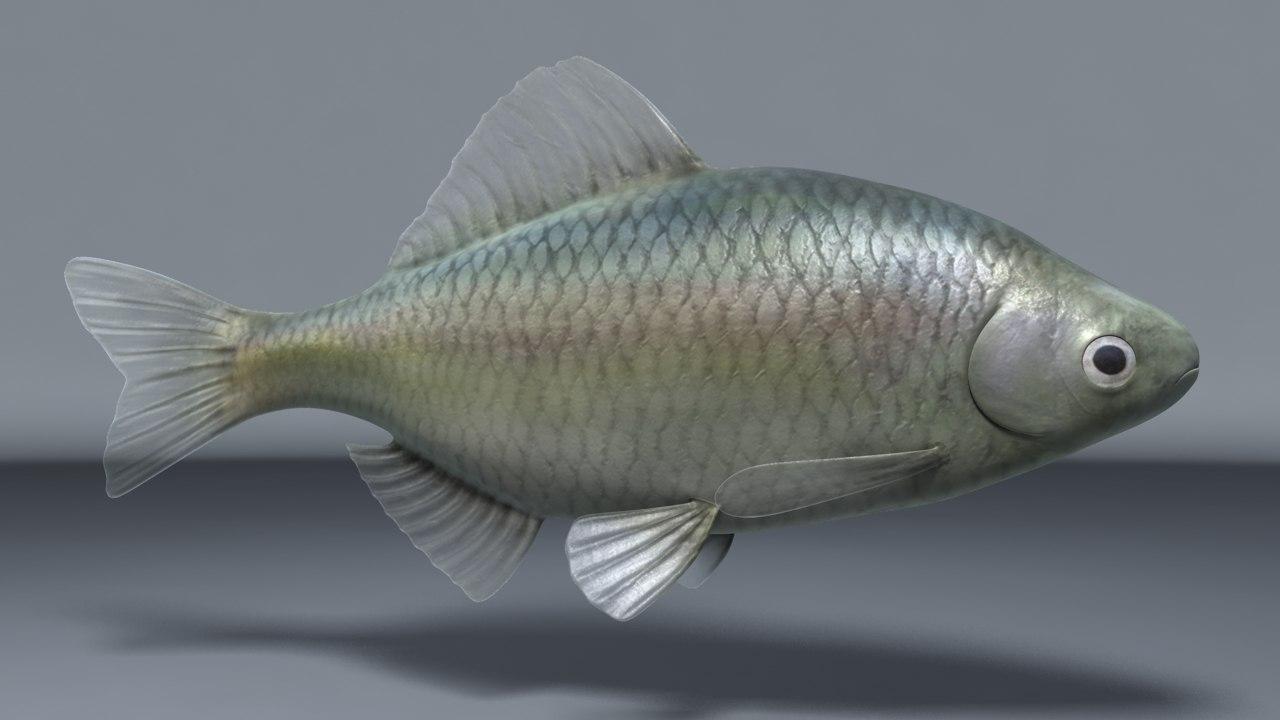 3D model koreanspinedbitterring fish