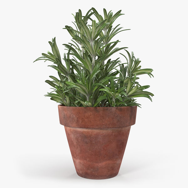 rosemary plant pot 3D model