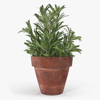 Rosemary Plant in Pot