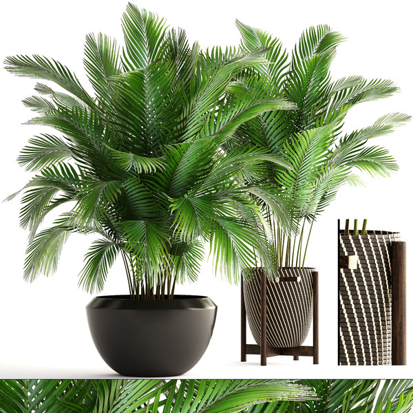 plants areca palm 3D