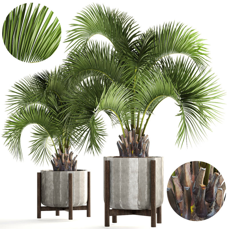 palms butia capitata 3D