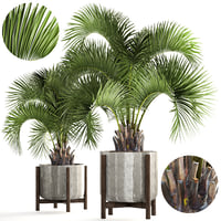 Collection palms Butia capitata
