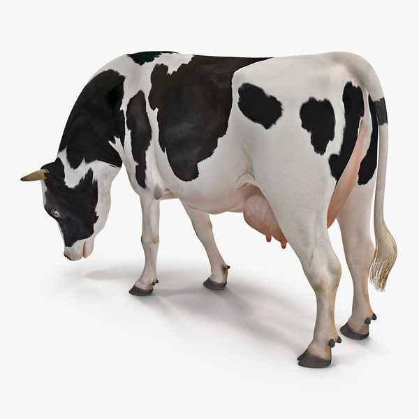 dairy cow eating pose 3D