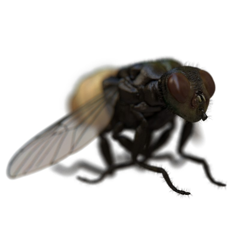 3D housefly rigged model