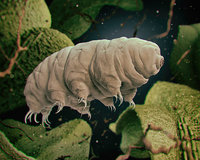 tardigrades water bears 3D model