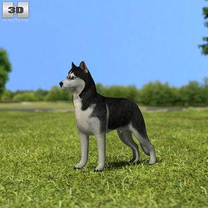 siberian husky sibe 3D model