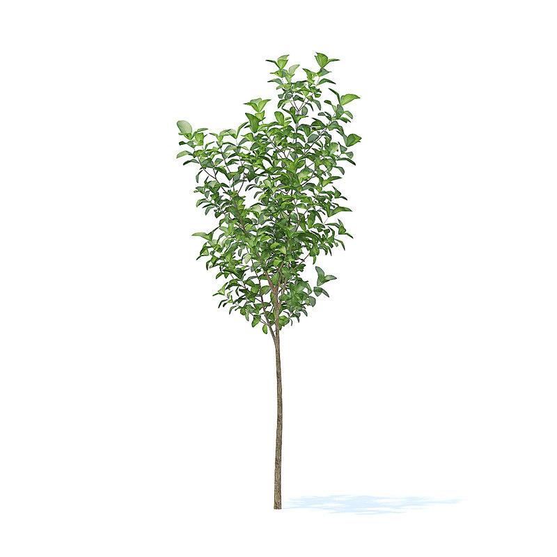 apple tree 2 7m 3D model