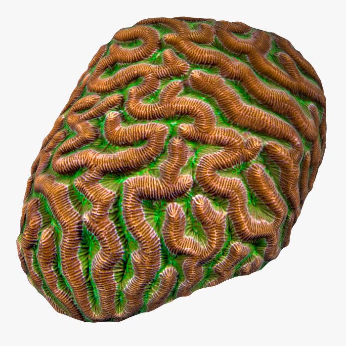 3D model brain coral