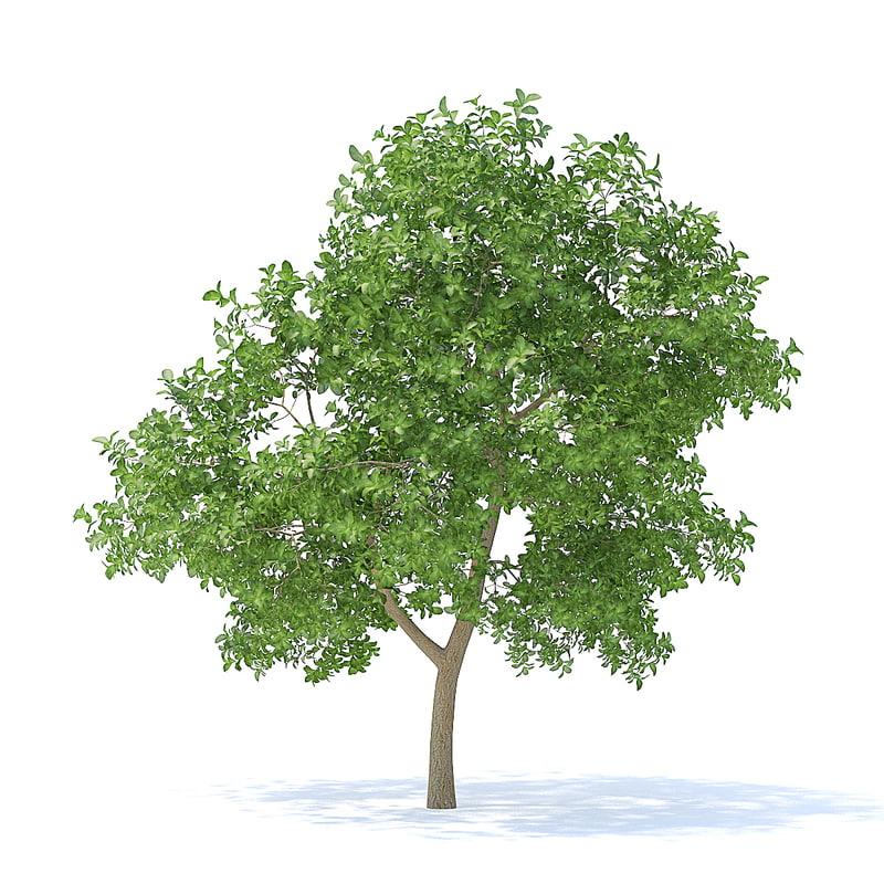 3D model apple tree 3 7m