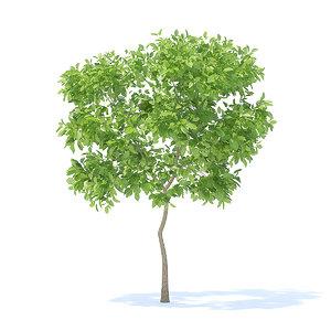 pear tree 2 4m 3D model