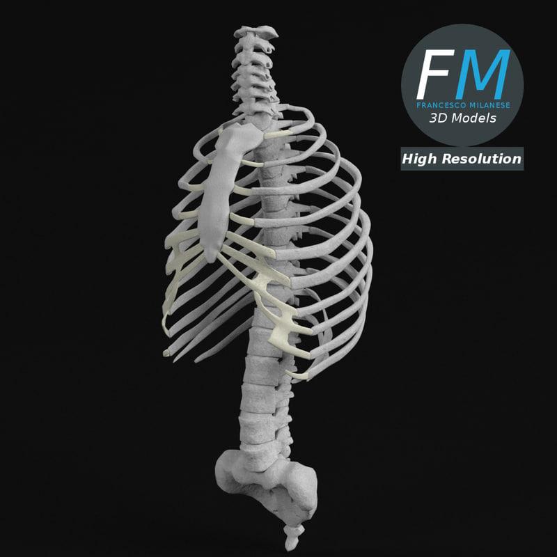 3D torso rib cage bones