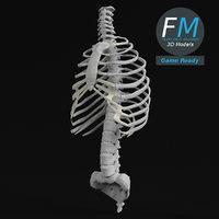 3D human spine torso rib cage