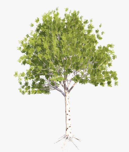 3D model birch tree