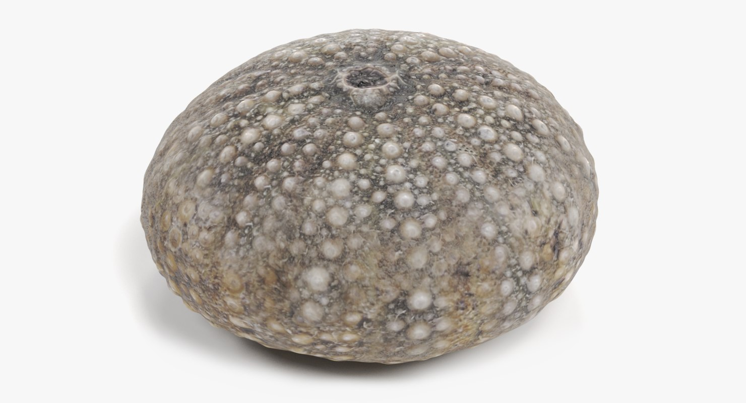 3D sea urchin shell