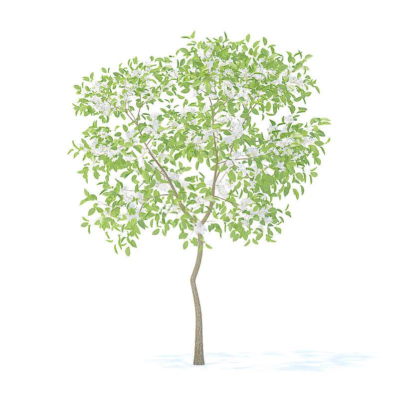 3D pear tree 2 4m model