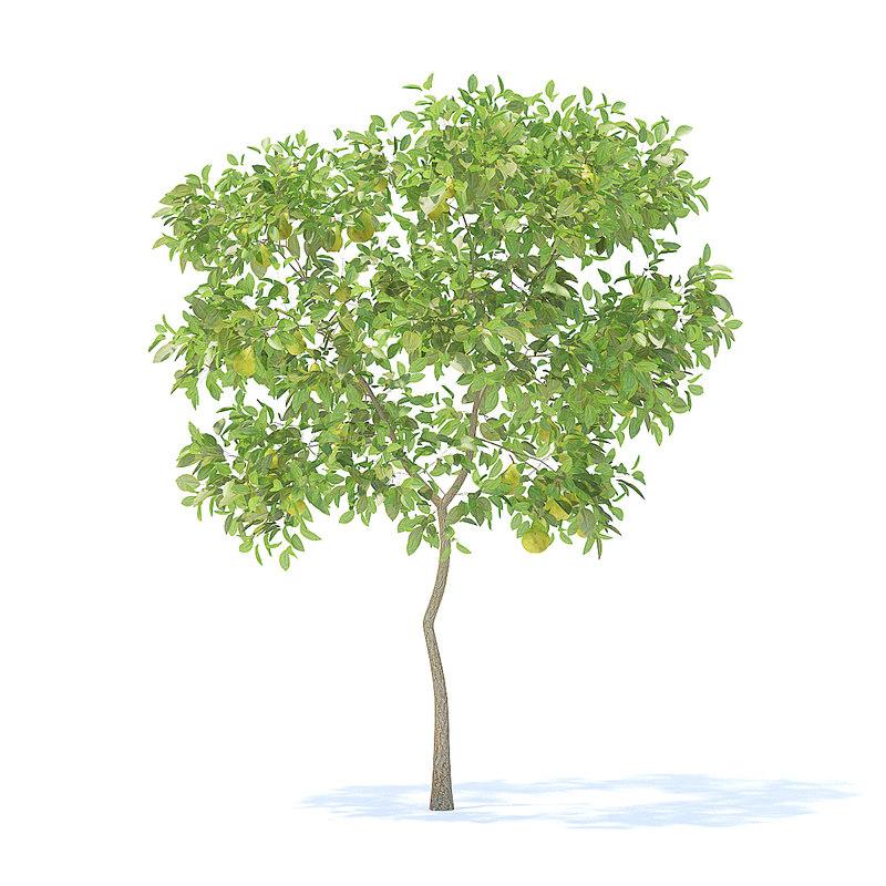 pear tree 2 4m 3D