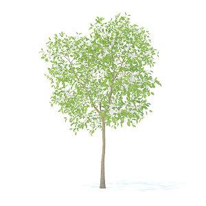 pear tree 3 7m 3D model