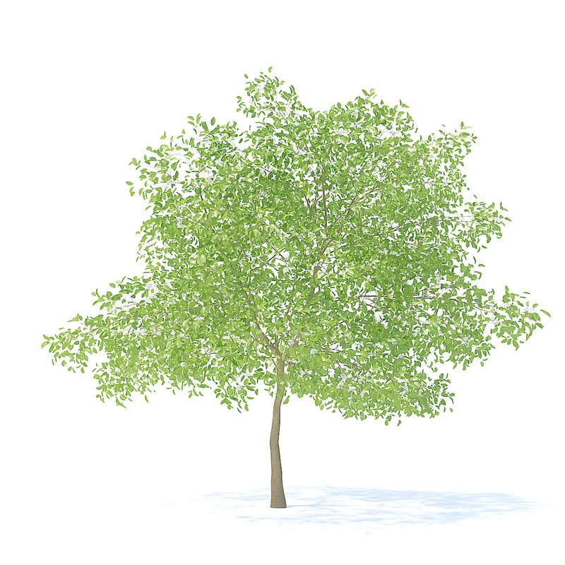 pear tree 6 3m model