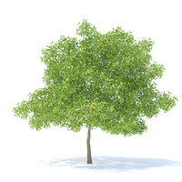 Pear Tree with Fruits 3D Model 6.3m