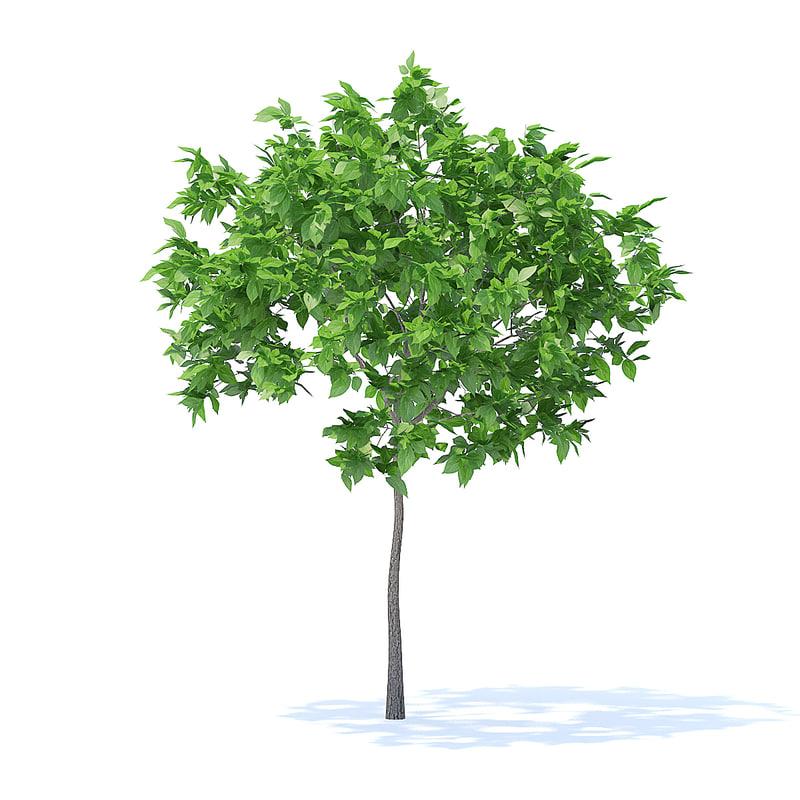 plum tree 2m 3D model