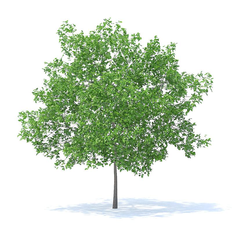 plum tree 5 2m 3D