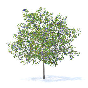 plum tree 5 2m 3D model