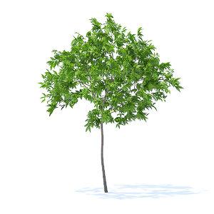 3D cherry tree 2 5m model