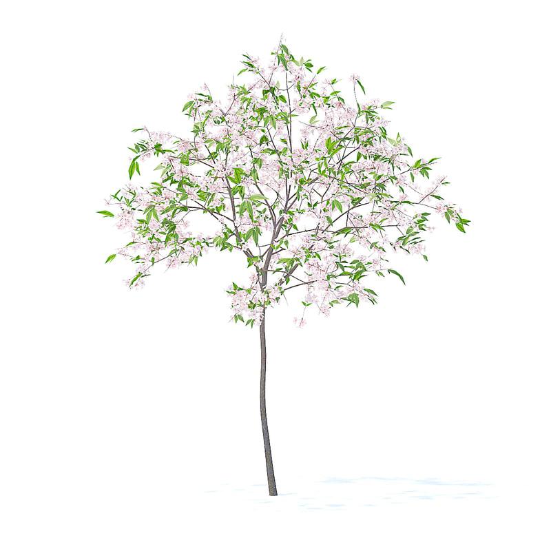 cherry tree 2 5m 3D model