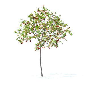 cherry tree 2 5m 3D