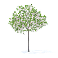 cherry tree 3 3m 3D model