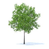 3D model cherry tree 5 7m