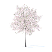 Cherry Tree with Flowers 3D Model 5.7m